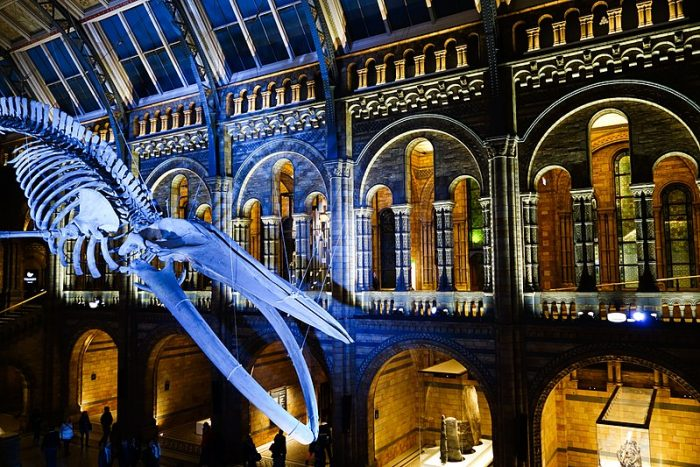 A whale at the London Museum of Natural History